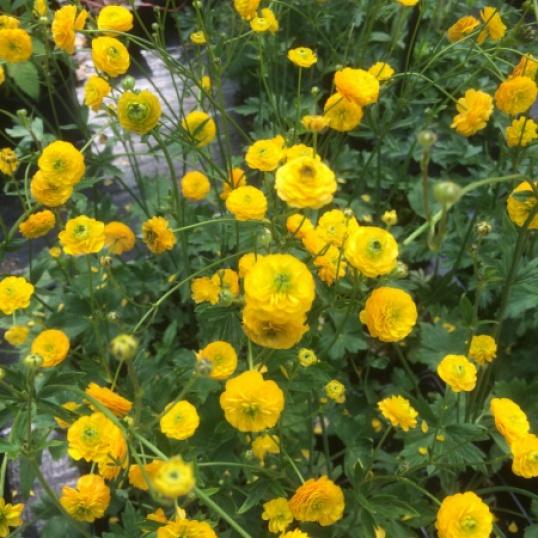 Ranunculus Acris Multiplex-9 cm pots