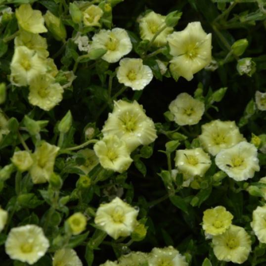 Arenaria Lemon Ice-plug plants