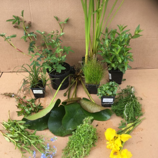 Native Pond Plants Collection