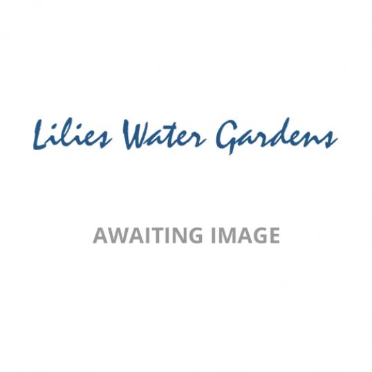 Astrantia Pink Joyce-1 litre pots