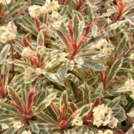 Euphorbia Frosted Flame-1 litre pots