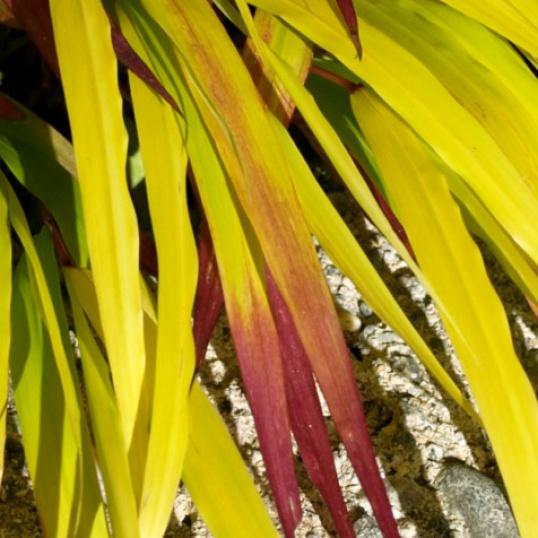 Hakonoclea Sunflare-plug plants