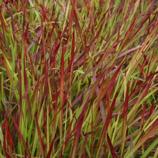 Imperata Cylidrica Red Baron-large plug plants