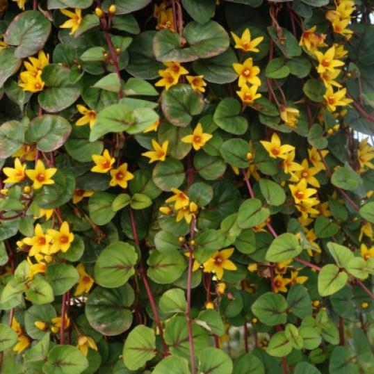 Lysimachia Sunburst-plug plants