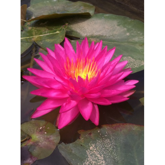 Nymphaea Pink Silk- bare rooted