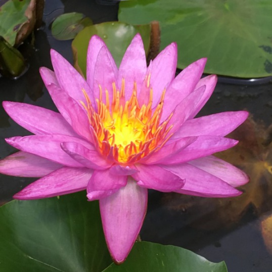 Nymphaea Purple Star-bare-rooted
