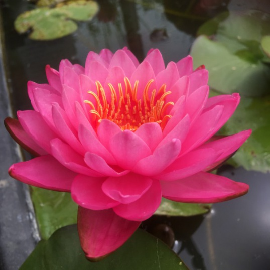 Nymphaea Siam Beauty-EXCLUSIVE-barerooted