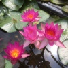 Nymphaea Siam Marble-bare rooted