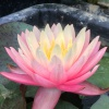 Nymphaea Sunfire-EXCLUSIVE-barerooted