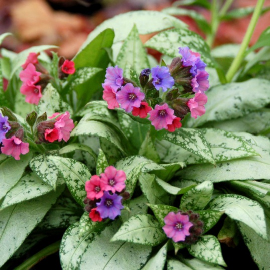 Pulmonaria Silver Boutique-1 litre pots