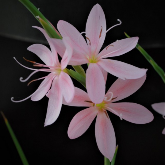 Schizostylis Mollie Gould-large plug plants