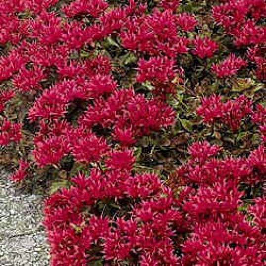 Sedum Spurium Dragons Blood-plug plants