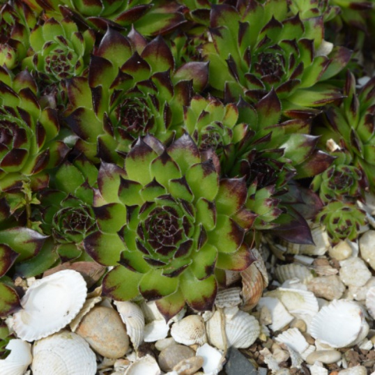 Sempervivum Star Sirius-plug plants