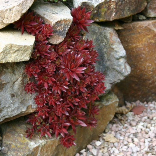 Sempervivum Tectorum Rubin-plug plants