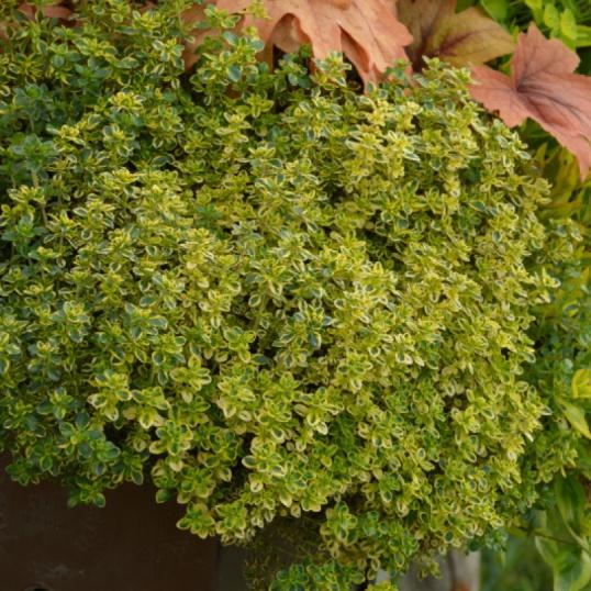 Thymus Citriodorus Golden Queen-plug plants