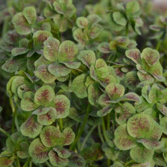 Trifolium Angel Clover Marriage-plug plants