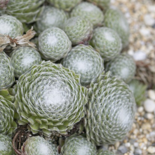 Sempervivum Arachnoideum-plug plants