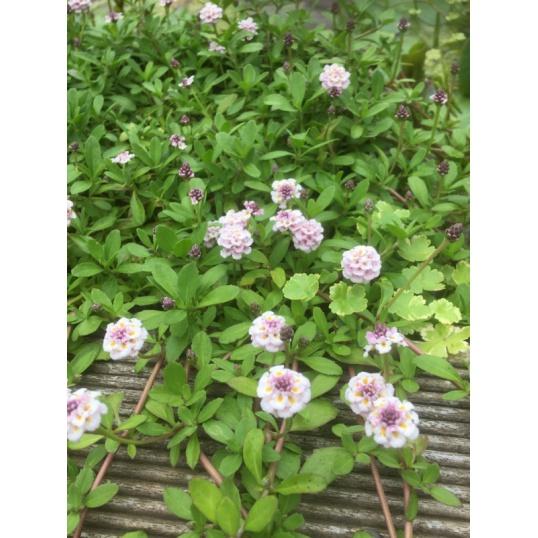 Phyla Lanceolata-9 cm pots