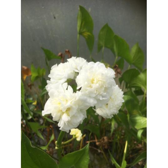 Sagittaria Flore-plena-barerooted