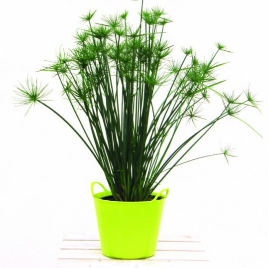 Cyperus Prolifer Little Prince-plug plants