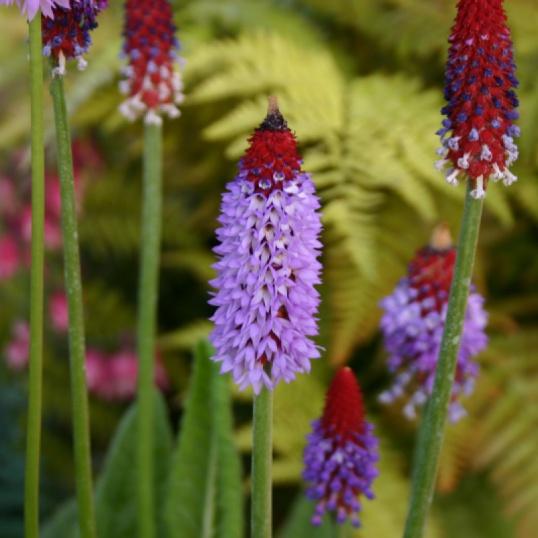 Primula Vialii-plug plants