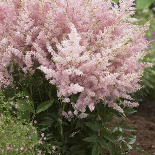Astilbe Younique Silvery Pink-9 cm pots