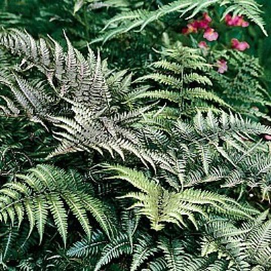 Athyrium Niponicum Var. Pictum-plug plants