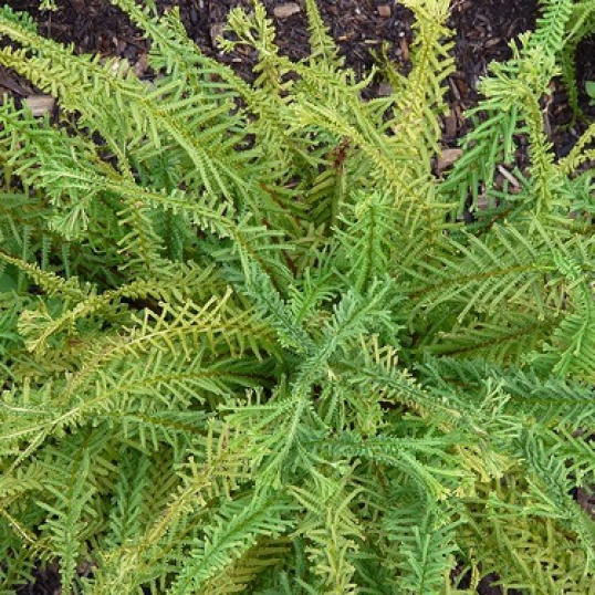 Athyrium Filix-Femina Victoriae-9 cm pots