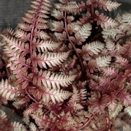 Atyrium Niponicum Burgandy Lace-9 cm pots