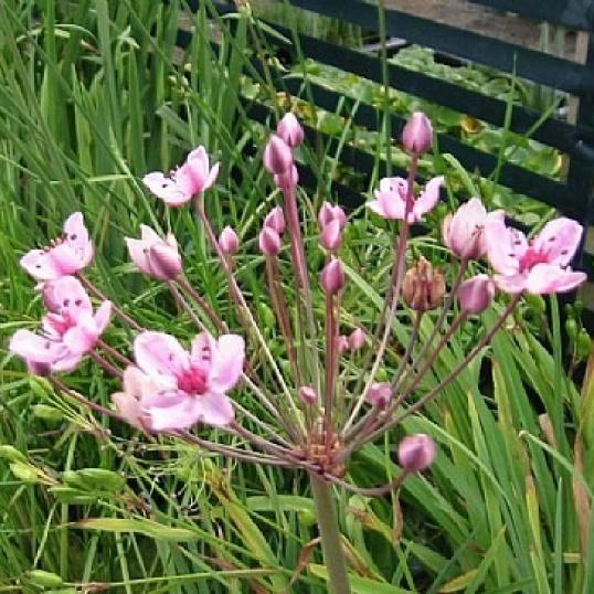 Butomus Umbellatus Rosenrot-RARE PLANT-barerooted