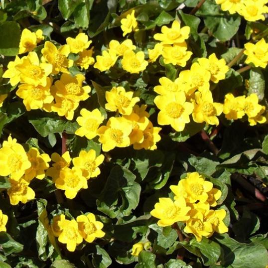 Caltha Palustris Auenwald-RARE PLANT-9 cm pots