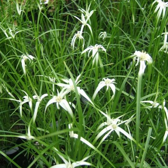 Dichromena Cordata-plug plants