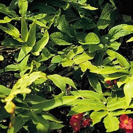 Dryopteris Sieboldii-9 cm pot