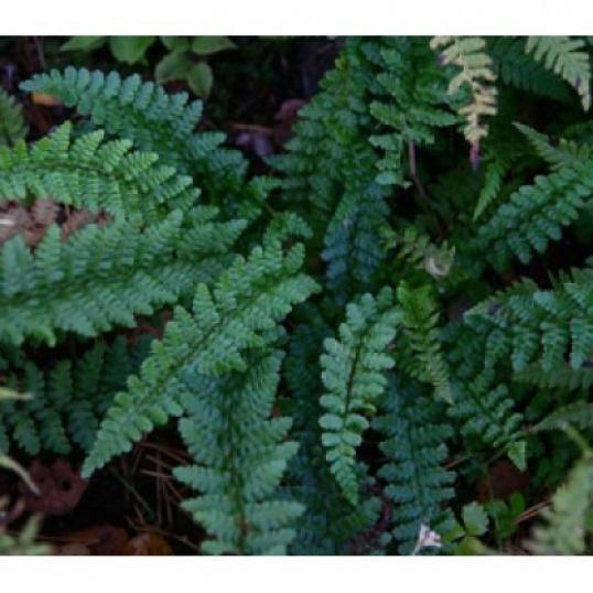 Dryopteris Affinis Cristata Angustata-9 cm pots