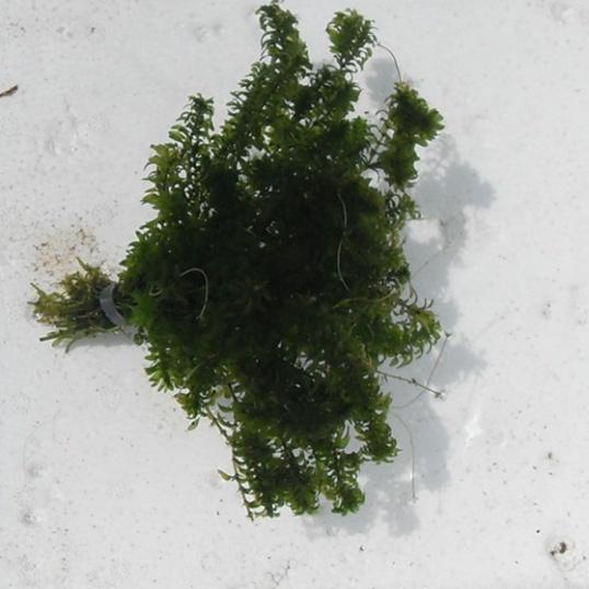 Elodea Canadensis (true rare species)-bunched
