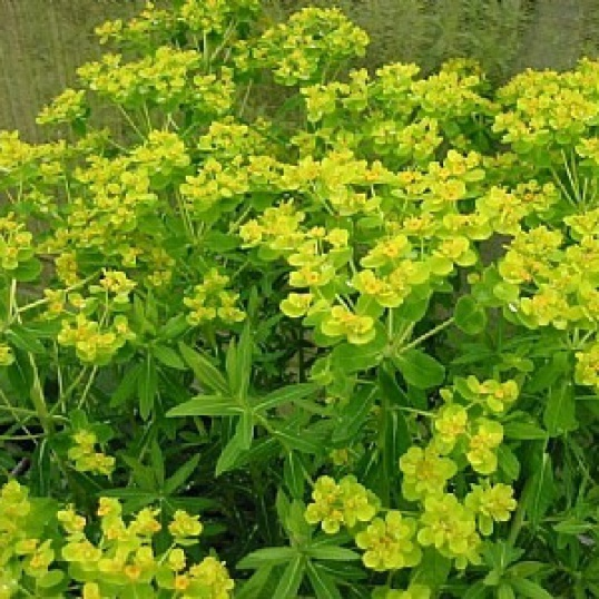 Euphorbia Palustris-9 cm pots