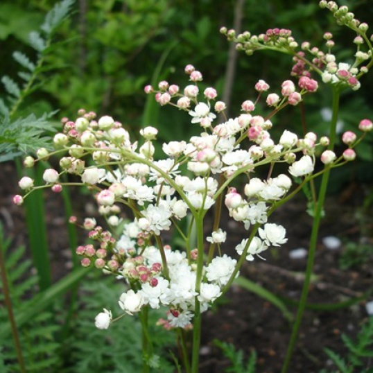 Filipendula Vulgaris Multiplex-9 cm pot