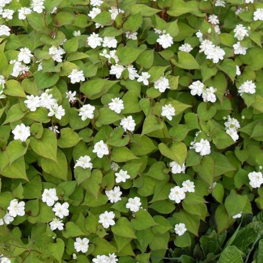 Houttuynia Cordata Flore Plena-7 cm pot