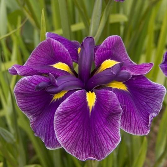 Iris Ensata Katy Mendez-barerooted