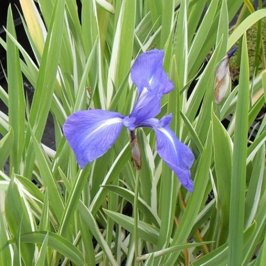 Iris Laevigata Variegata-barerooted