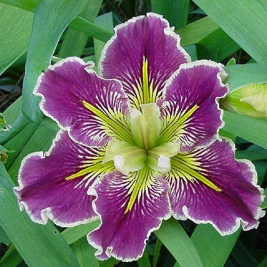 Iris Louisiana Extra Dazzle-barerooted