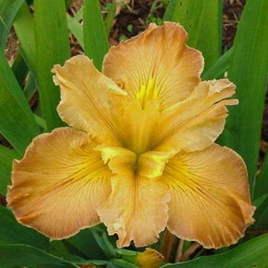 Iris Louisiana Few Are Chosen-barerooted