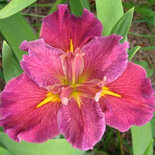 Iris Louisiana Potpouri Rose-barerooted