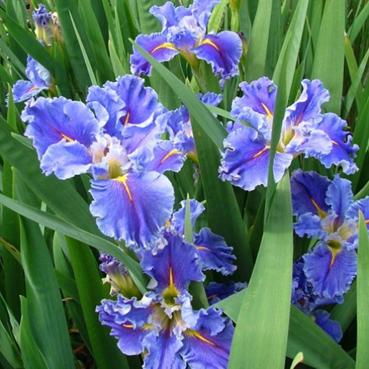 Iris Louisiana Swirling Waters-barerooted