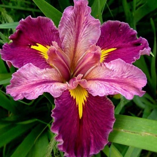 Iris Louisiana Word Of Warning-barerooted