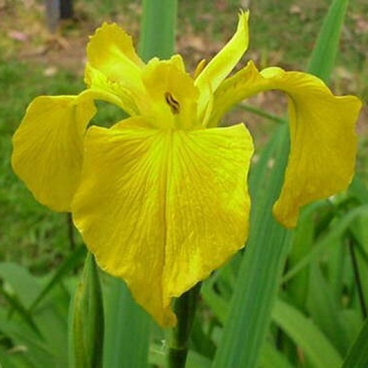 Iris Pseudacorus Come In Spinner-barerooted