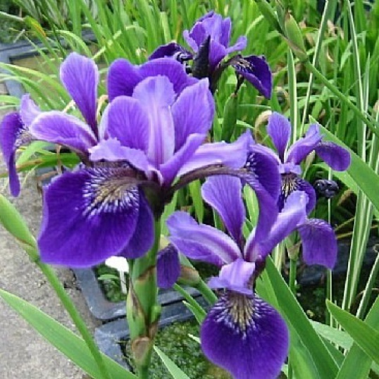 Iris Versicolor Rowden Concerto-barerooted