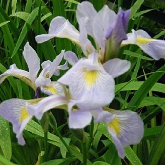 Iris Virginica-barerooted