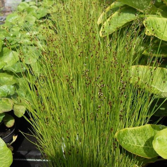 Juncus Submodulosa-7 cm pots