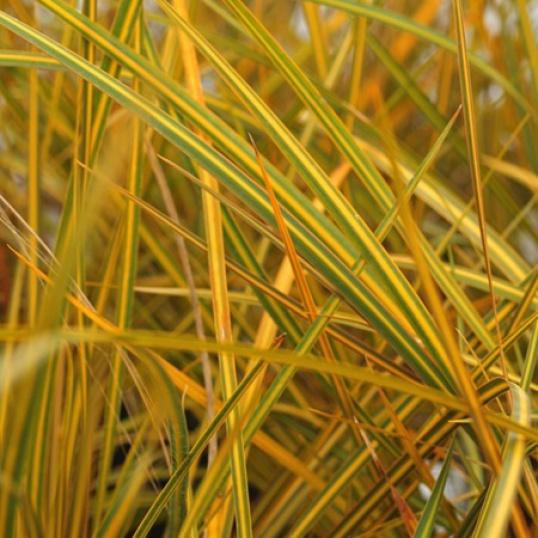 Libertia lxioides Goldfinger-9 cm pots